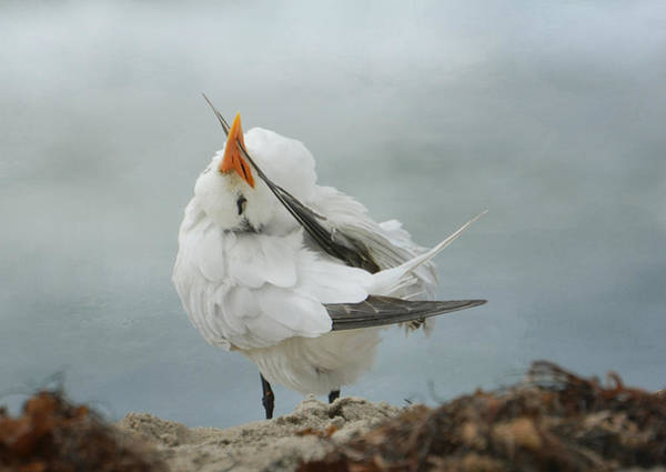 Elegant Tern Wall Art - Photograph - The Caress by Fraida Gutovich