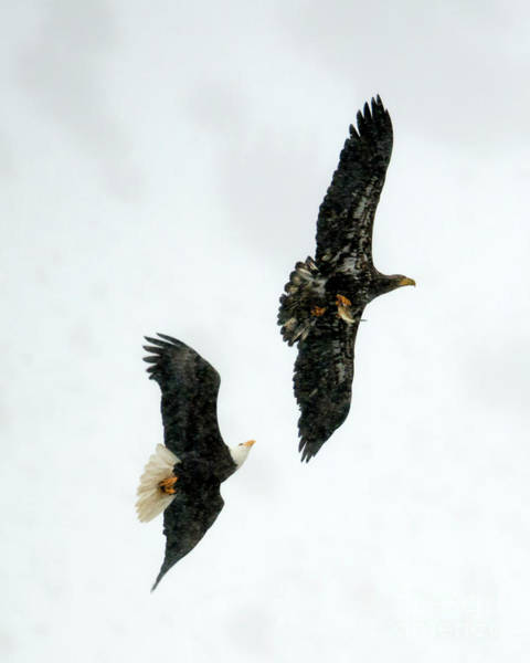 Fish Eagle Photograph - The Chase by Mike Dawson