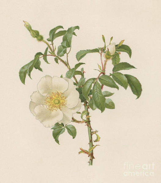 Wall Art - Painting - The Cherokee Rose by English School