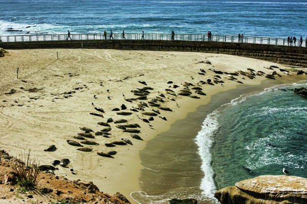 Snuggle Painting - The Childrens Pool Beach Seals In La Jolla Cove California by Georgia Mizuleva