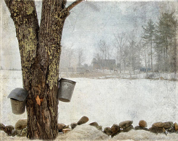 Photograph - Collecting Sap For Making Maple Syrup by Betty  Pauwels