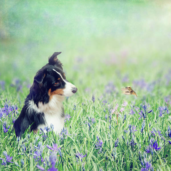 Collie Photograph - The Conversation by Margaret Goodwin