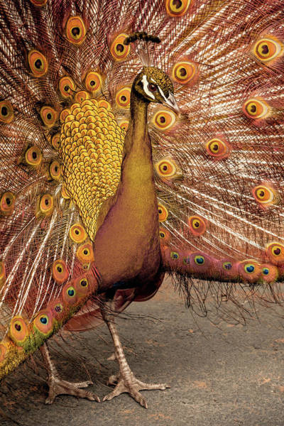 Photograph - The Copper Peacock by Susan Maxwell Schmidt