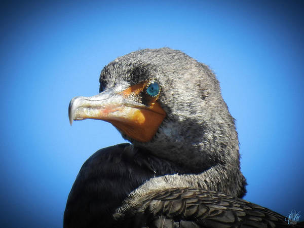 Photograph - The Cormorant, No. 8 by Elie Wolf