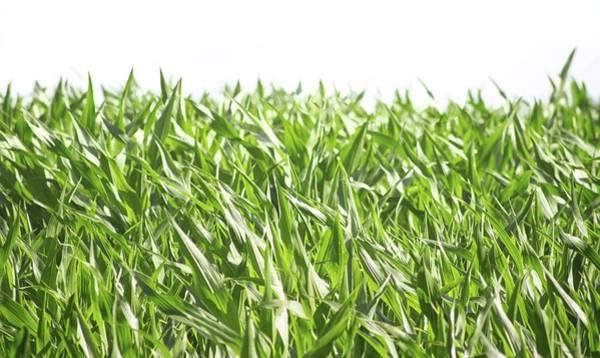 Wall Art - Photograph - The Corn Field by Martin Newman