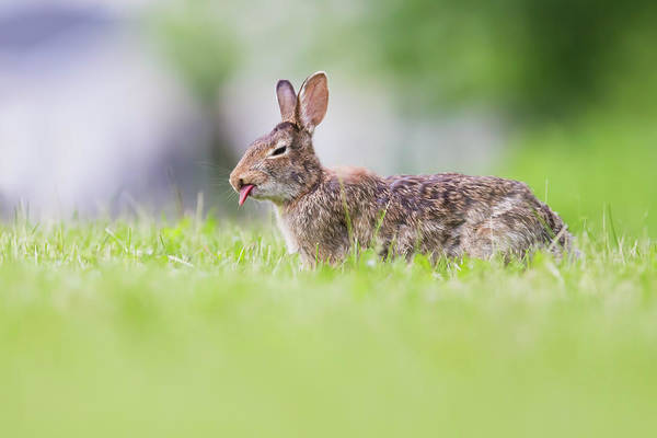 Sylvilagus Floridanus Photograph - The Cottontail by Mircea Costina Photography