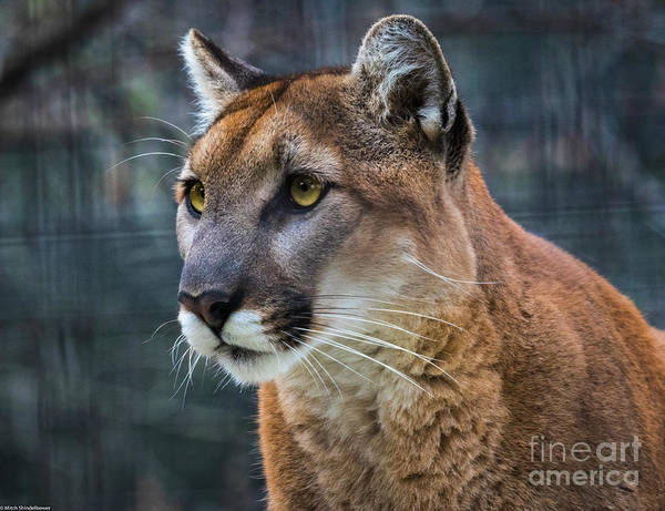 Mountain Lion Photograph - The Cougar by Mitch Shindelbower