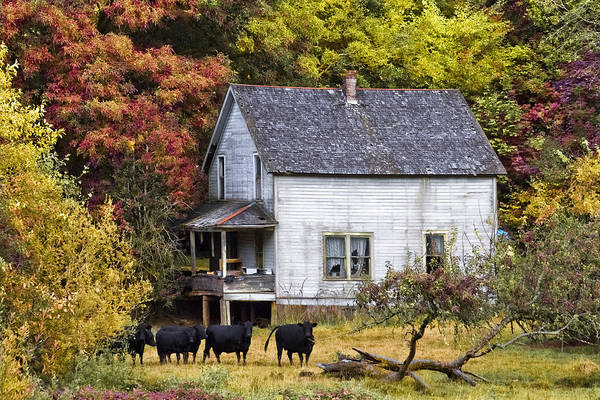 Cow And Calf Wall Art - Photograph - The Cows Came Home by Debra and Dave Vanderlaan