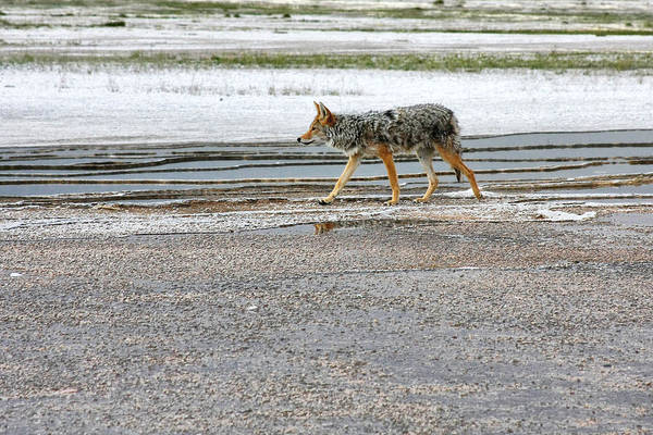 Photograph - The Coyote - Dogs Are By Far More Dangerous by Christine Till