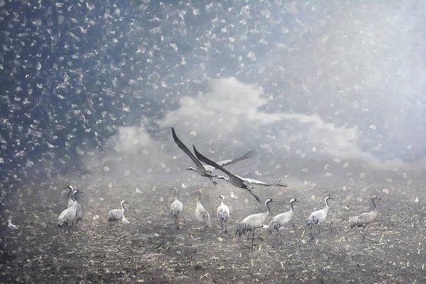 Migratory Birds Photograph - the cranes of Fischland by Joachim G Pinkawa