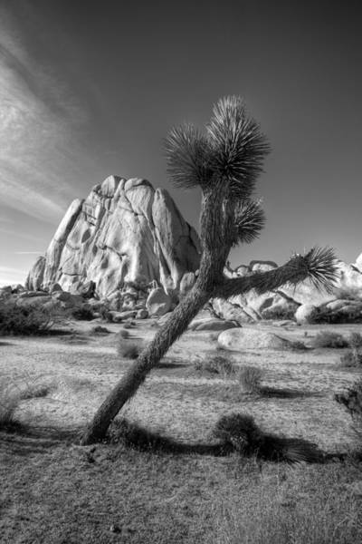 Desert Plant Photograph - The Crooked Joshua Tree by Peter Tellone