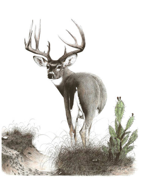 Whitetail Drawing - The Crossing by Steve Maynard