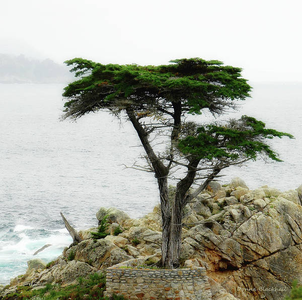 Monterey Cypress Photograph - The Cypress by Donna Blackhall