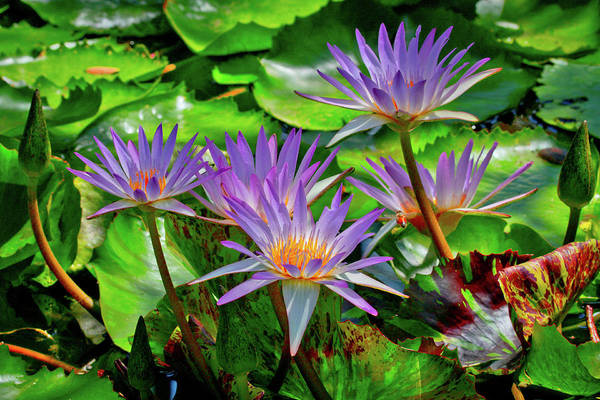 Lilly Pad Photograph - The Dance Of The Lillies by Linda Unger
