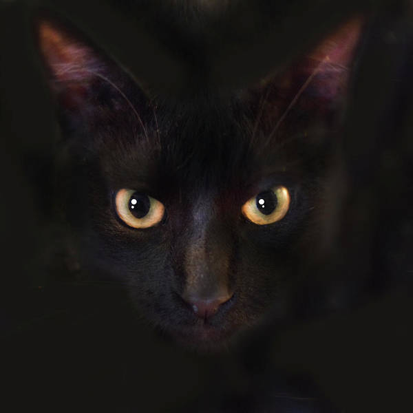 Black Cats Photograph - The Dark Cat by Gina Dsgn