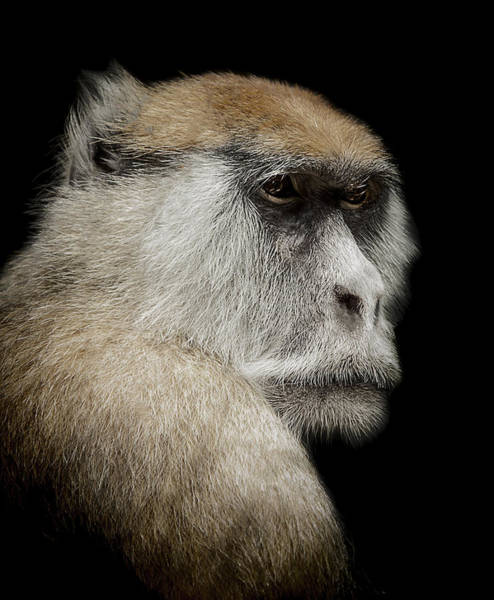 Monkey Photograph - The Day Dreamer by Paul Neville