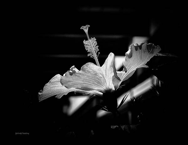 Photograph - The Delicate Hibiscus Flower by Gerlinde Keating - Galleria GK Keating Associates Inc