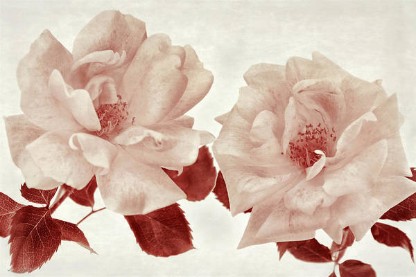 Photograph - The Depth Of Roses I by Leda Robertson