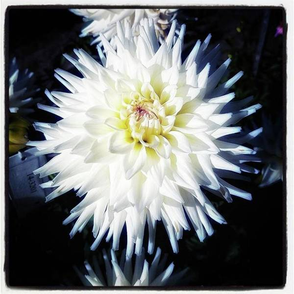 Photograph - The Devoted Dahlia. The White Dahlia by Mr Photojimsf