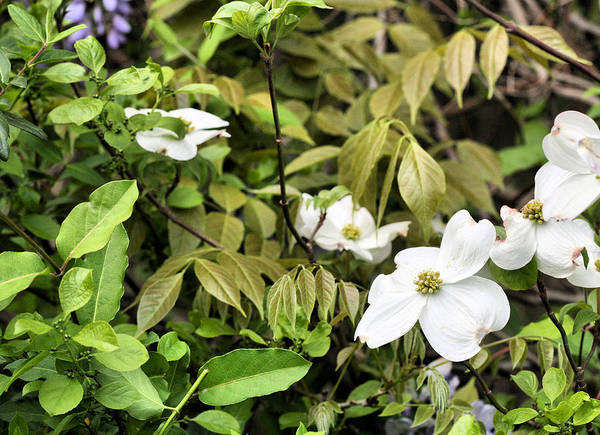 Photograph - The Dogwood Jungle by JC Findley