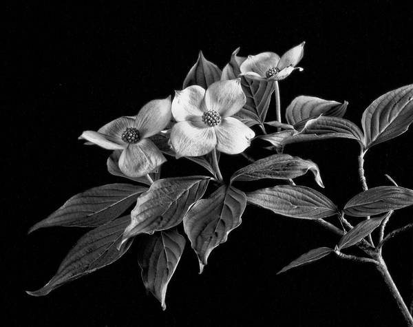 Photograph - The Dogwood by Robert Och