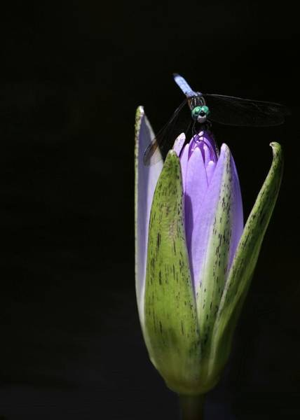 Photograph - The Dragonfly And The Water Lily  by Sabrina L Ryan