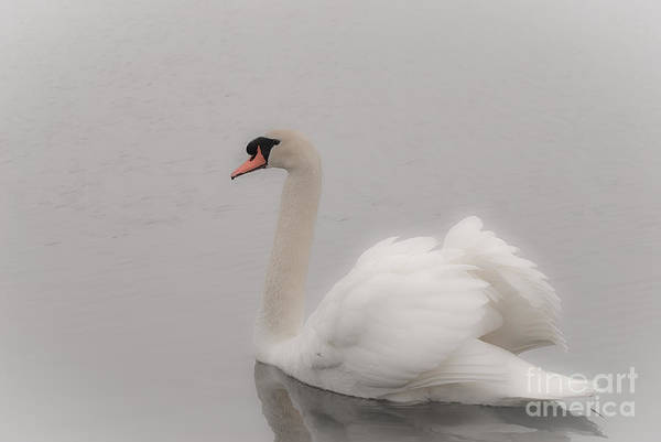 Swan Neck Photograph - The Dream by Charles Dobbs