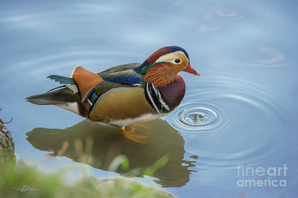 Mandarin Duck Photograph - The Drip by Torbjorn Swenelius