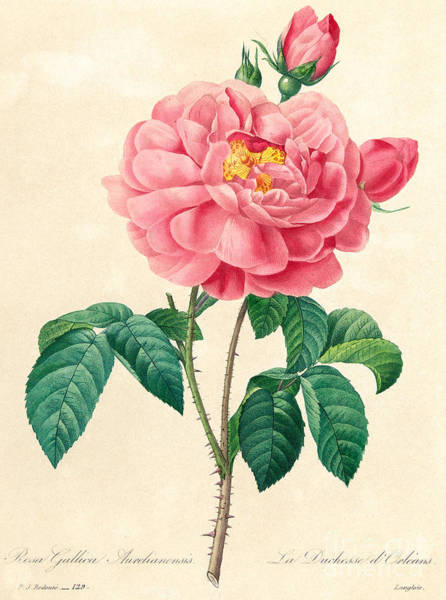 Wall Art - Painting - The Duchess Of Orleans Rose by Pierre Joseph Redoute