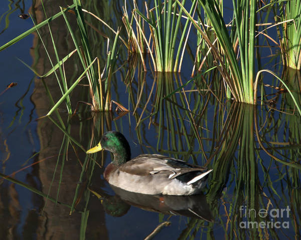 Photograph - The Duck On The Pond At Papago Park by Kirt Tisdale