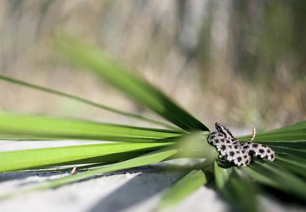 Photograph - The Dusky Pygmy Rattlesnake by JC Findley