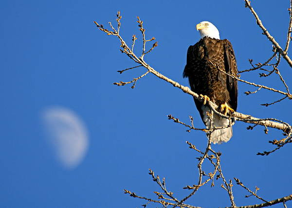 Photograph - The Eagle Has Landed by Larry Ricker