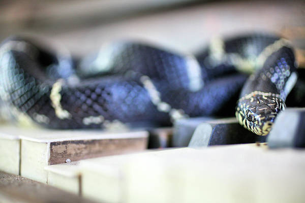 Photograph - The Eastern Kingsnake by JC Findley