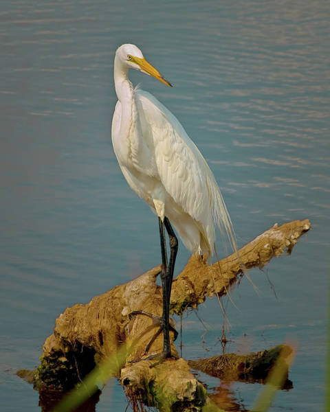 Photograph - The Elegant Egret by Mike Covington