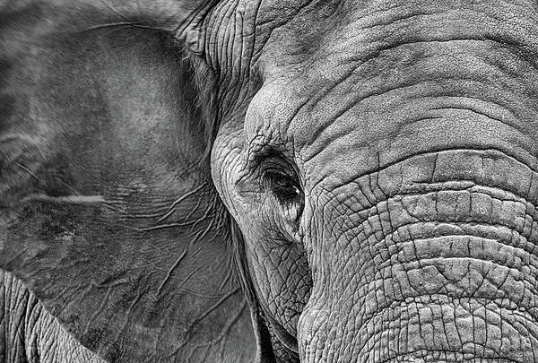Photograph - The Elephant In Black And White by JC Findley