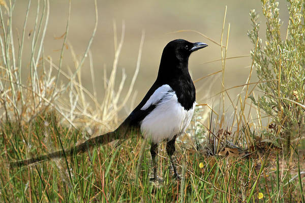 Corvidae Photograph - The Elusive Magpie by Donna Kennedy