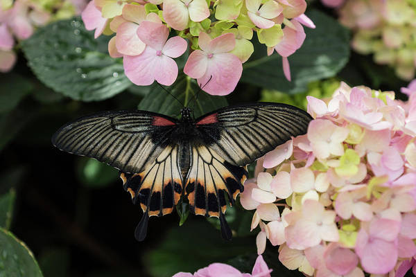 Complementary Colours Photograph - The Enchantment Of Butterflies - A Gorgeous Swallowtail Complementing The Hydrangeas by Georgia Mizuleva