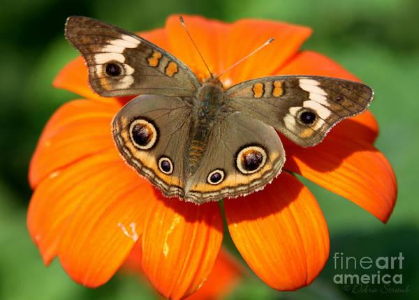 Buckeye Butterfly Wall Art - Photograph - The 'eyes' Have It by Debra Straub
