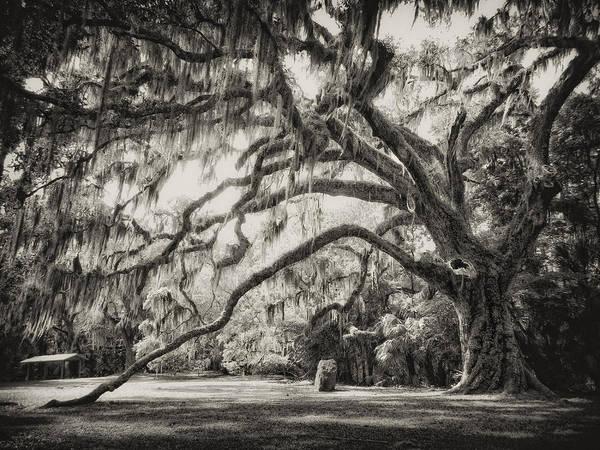 Ormond Beach Photograph - The Fairchild Oak by Amy Holley