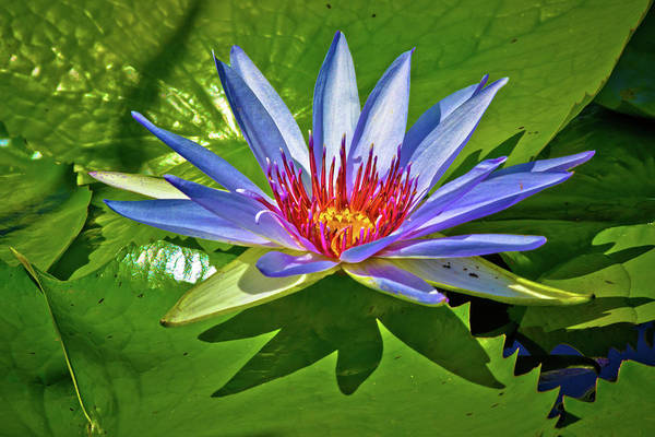Lilly Pad Photograph - The Fire Lily by Linda Unger
