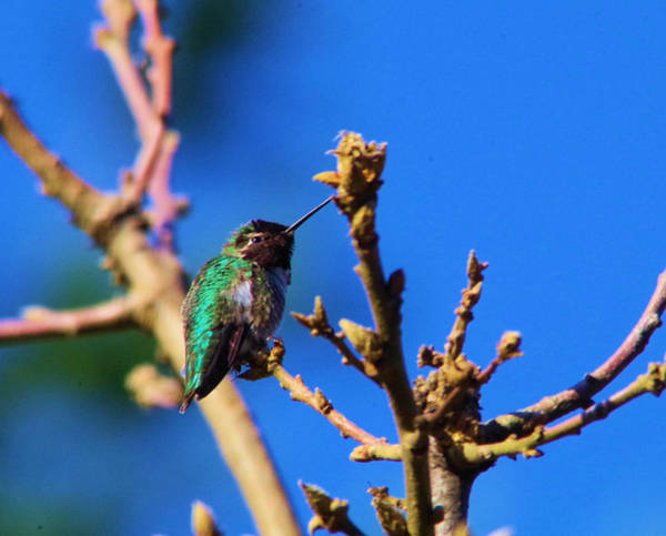 Little Things Photograph - The First Hummingbird by Jeff Swan