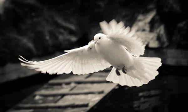 Photograph - The Flight Of A White Dove by Andrea Mazzocchetti