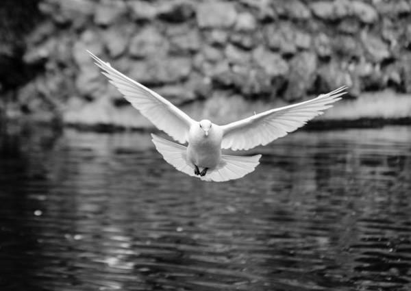 Photograph - The Flight Of The Dove Bw by Andrea Mazzocchetti
