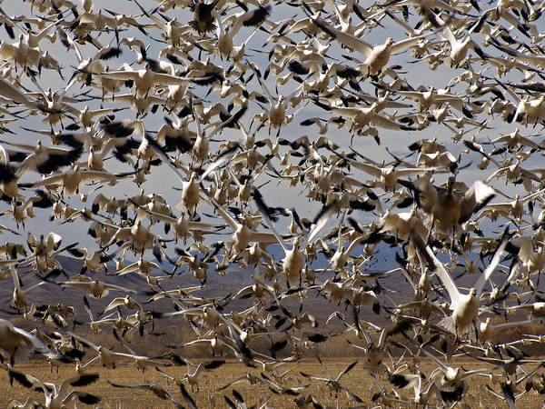 Photograph - The Flock Bosque Del Apache by Kurt Van Wagner