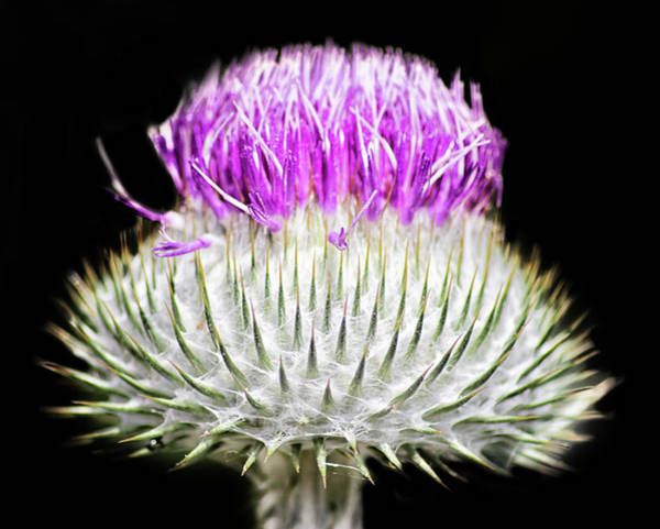 Thistle Photograph - The Flower Of Scotland by Martin Newman