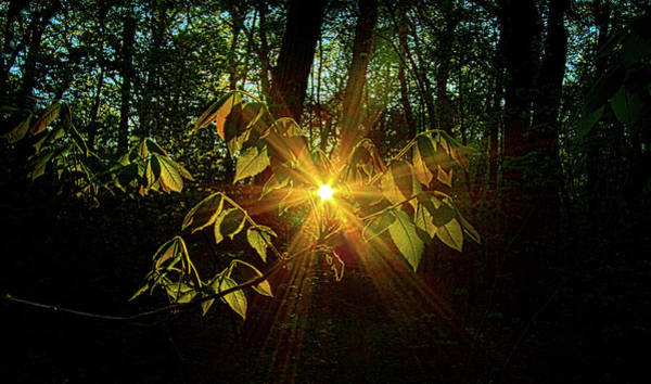 Photograph - The Forest Through The Trees by Phil Koch