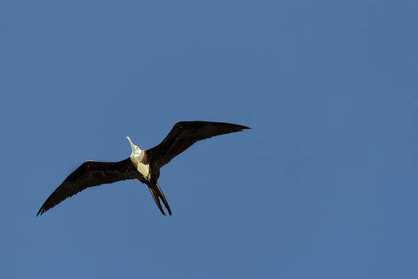 Photograph - The Female Magnificent Frigate Bird by Kay Brewer