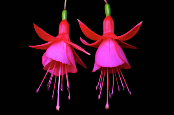 Wall Art - Photograph - The Fuchsia Twins by Terence Davis