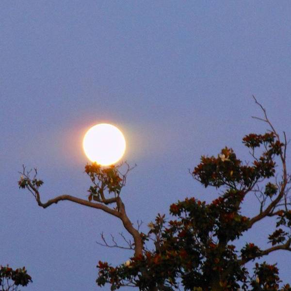 Photograph - The Full Moon Resting On A Magnolia by Cheray Dillon
