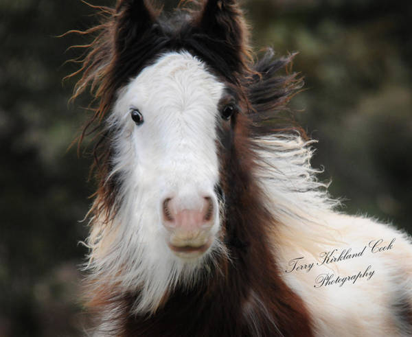Photograph - The Fuzziest Gypsy Foal by Terry Kirkland Cook